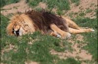 آیا شیرها خواب میبینند