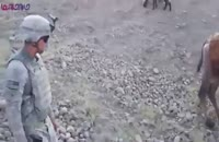 لگد شتر افغان به تفنگدار آمریکا