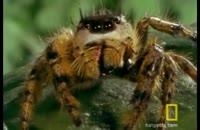 عنکبوت پرنده علیه زنبور عسل
