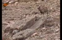 گونه هاي جانوري:قوچ اوریال