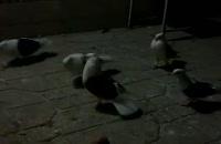کبوتران اصیل ایرانی