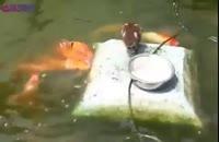 غذا دادن مرغابی به ماهی