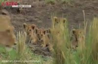 فیلم شکار گروهی شیرها