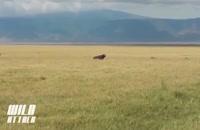 مستند حمله ی شیرها به بوفالو