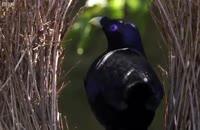 ترفندهای حیرت انگیز فریب در پرندگان
