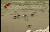 پرنده آبچیلیک آوازخوان